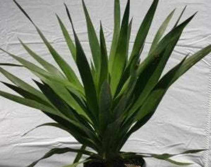 """Dracaena draco - 1 Plants - 1 Feet Tall - Ship in 6"""" Pot"""
