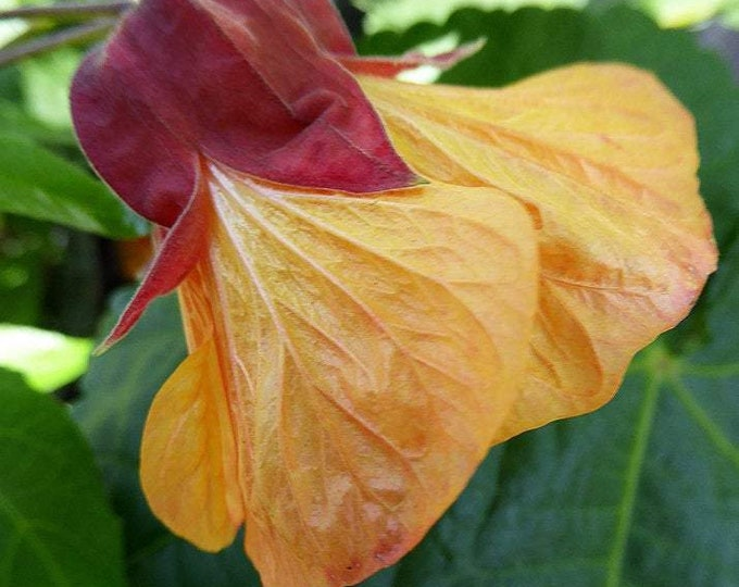 "Abutilon 'Apricot' ""Flowering Maple"" - 1 Plants  - 1 Feet Long  - Ship in 6"" Pot"