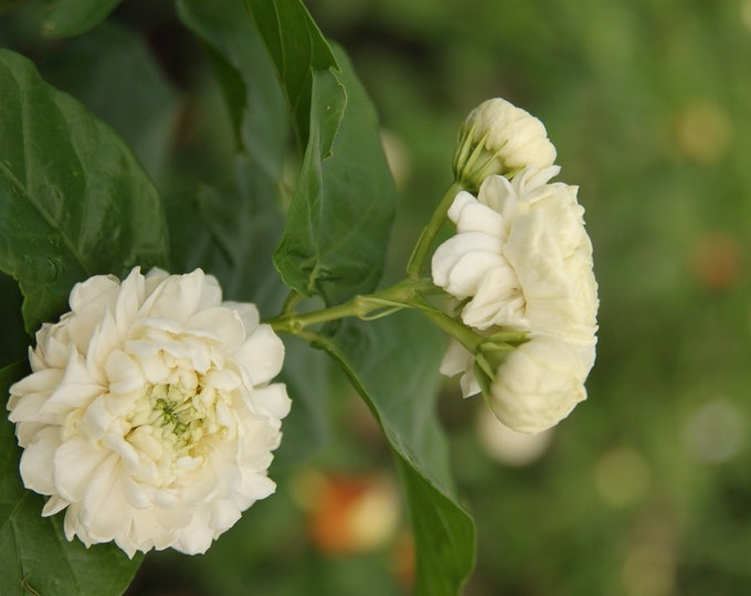"Grand Duke Arabian Jasmine   - 1  Plants  - 8""  to 1 Feet Tall Tall  - Ship in 6"" Pot"