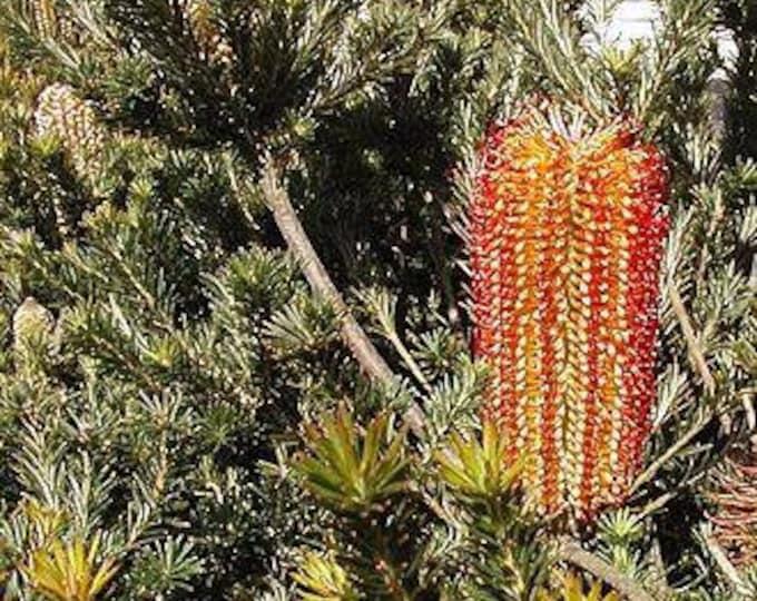 """Banksia ericifolia compact form - 1 Plants - 1  Feet Long - Ship 6"""" Pot"""