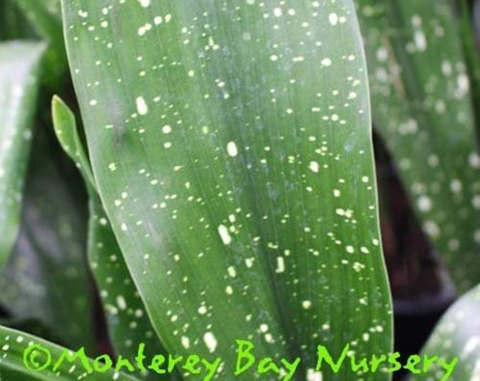 "Aspidistra elatior 'Milky Way' - 1 Plants 4 Leaves or More - 8"" to 1  Feet Tall - Ship in 6"" Pot"