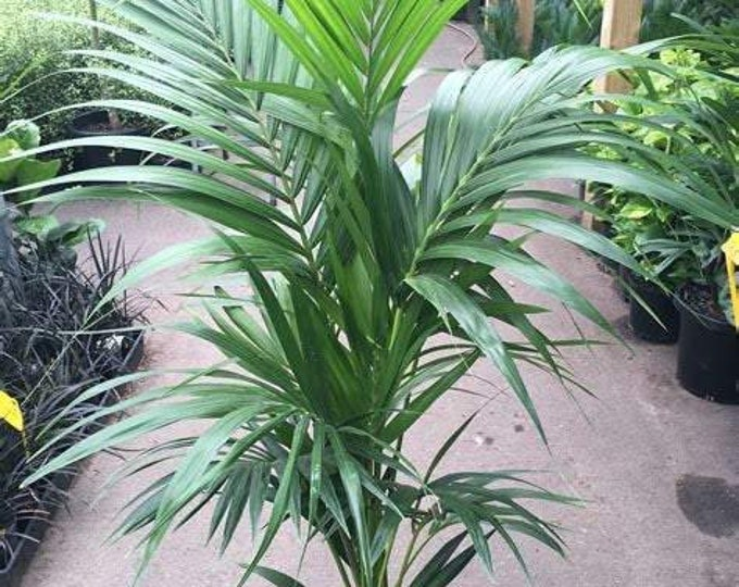 Kentia Palm - 1 Plant -  3 Feet Tall - Ship in 3 Gal Pot