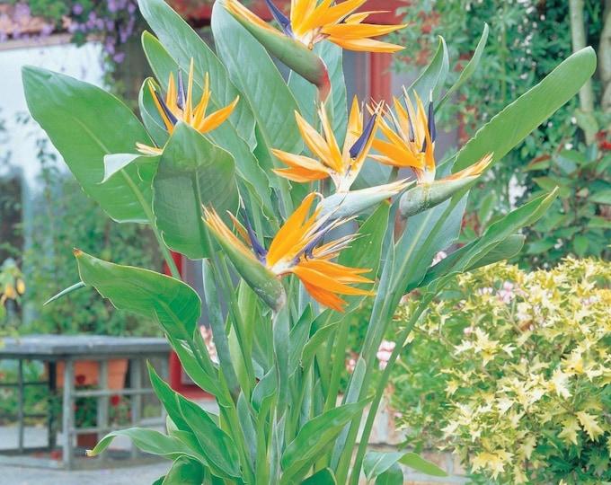 "Bird Of Paradise (strelitzia Reginae) - 1 Plants - 1  Feet Tall  - Ship In One 6"" Pot"
