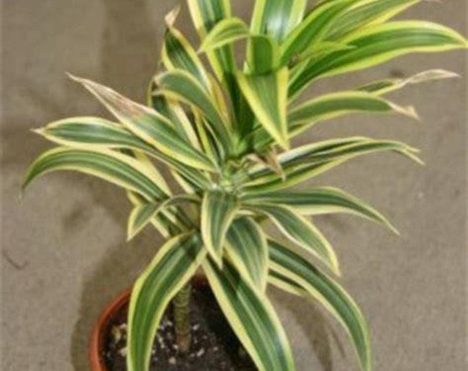 """Song of India (Dracaena reflexa variegata) - 1 Plants  - 6"""" to 10"""" Tall  - Ship in 3"""" Pot"""