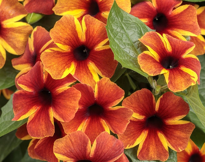 """Thunbergia BiColor - 1 Starter Plants  - 1 to 2 feet Long  - Ship in 6"""" Pot"""
