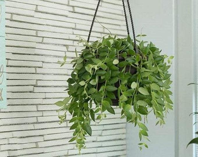 "Lipstick Plant - Lobbianthus - 1 Plants  - 8"" To 1 Feet Long  - Ship In 6"" Pot"