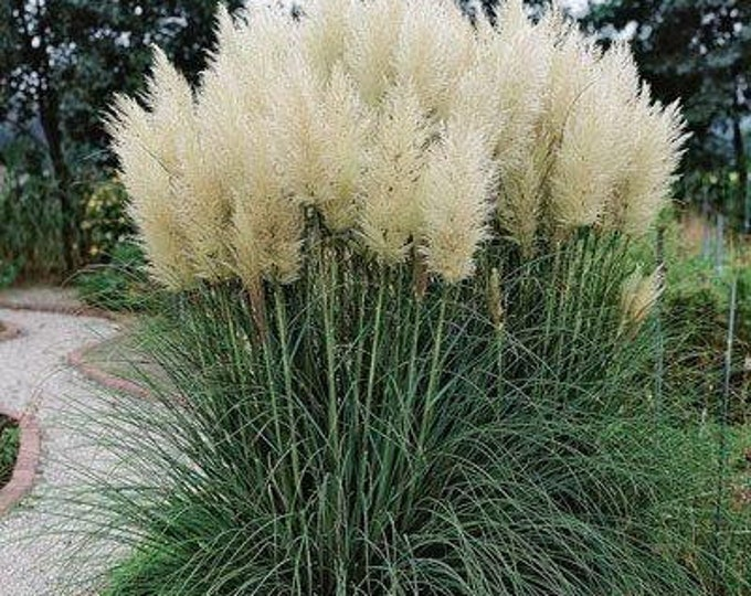 "Pampas Grass  - 1 Plants - 1 Feet Tall - Ship In One 6"" Pot"