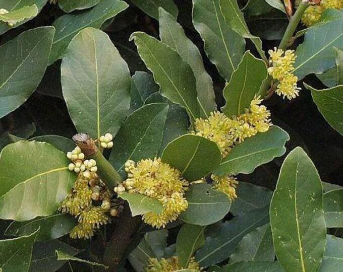 """Bay leaf Laurel leaf  - 1 Plant - 1 Feet Tall - Ship in 6"""" Pot"""