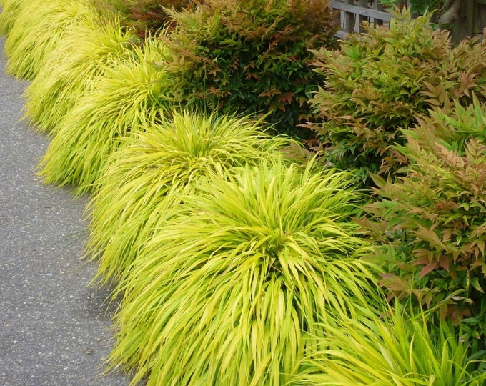 "Golden Japanese Forest Grass Hakonechloa macra 'Aureola' -  1 Plants  - Ship in 6"" Pot"