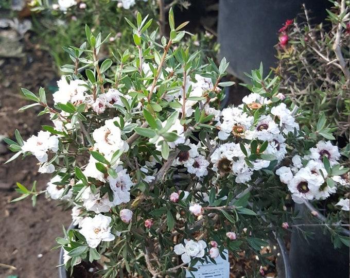 "Leptospermum scoparium - White - 8"" to 1 Feet Tall"