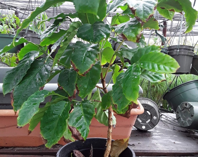 "Arabica Coffee Plant - 1 Plants - 1  Feet Tall - Ship in 6"" Pot"
