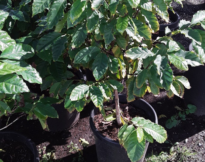Arabica Coffee Plant - 1 Plants - Bigger Trunk - 3  Feet Tall - Ship in 3 Gal Pot