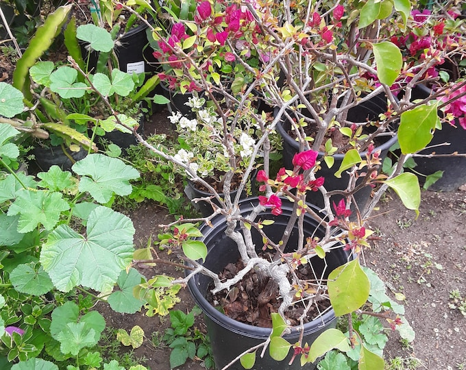 Bougainvillea  Red To Pink - 1 Plant -  1 to 2 Feet Tall   - Bigger Trunk - Ship In 3 Gal Pot