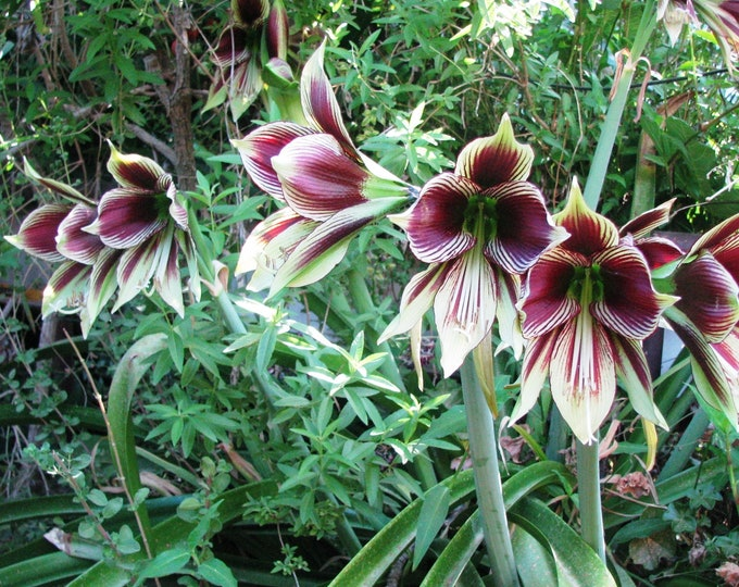 """Hippeastrum papilio – Butterfly Amaryllis  - 1 Starter Plant - 8""""  Tall - Ship in 6"""" Pot"""
