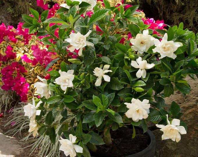 "Mystery Gardenia Gardenia jasminoides 'Mystery' - 1 Feet Tall - Ship in 6"" Pot"