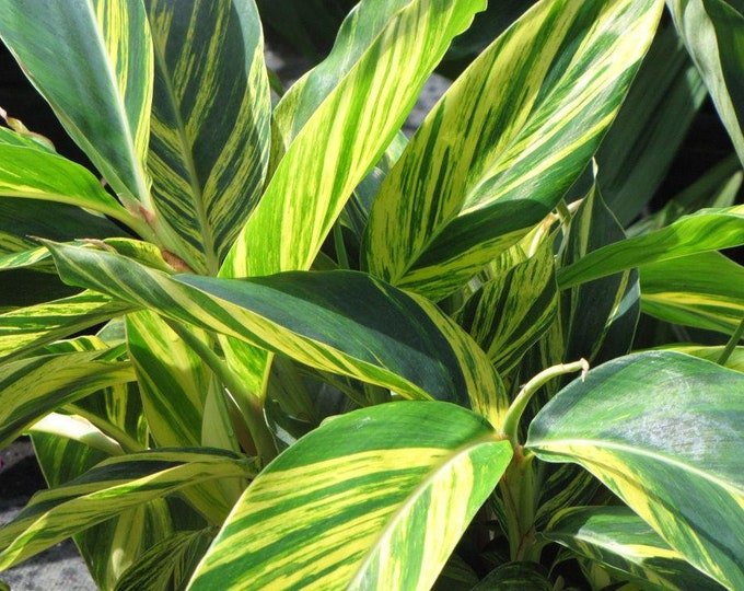 Variegated Shell Ginger - 1 Plants -  1 to 2 Feet Tall - Ship in a  3 Gal Pot