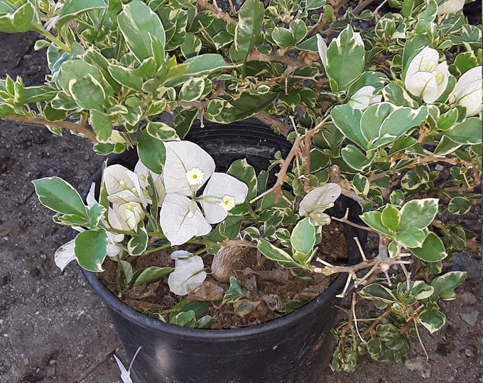 "White Stripe Bougainvillea - 1 Starter Plant - 8"" To 1 Feet Tall  - Ship In 6"" Pot"