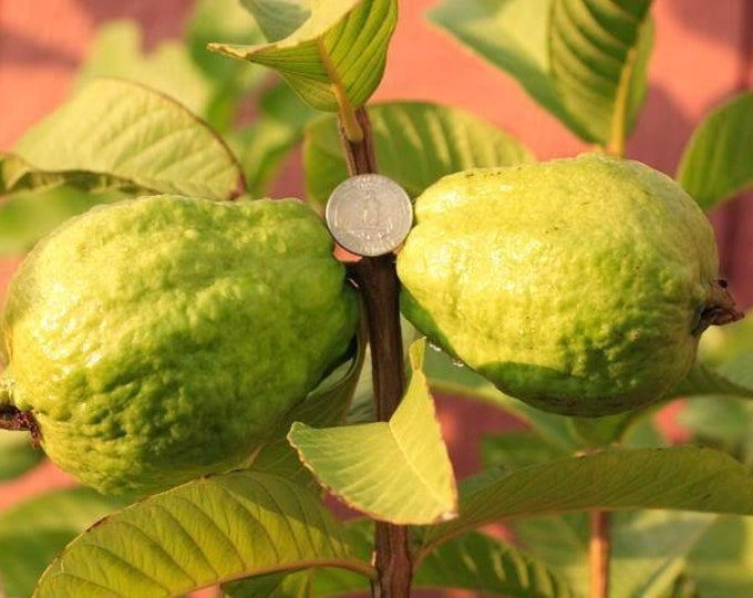 """Tropical  Guava - 1  Plant -  2 to 3 Feet  Tall - Ship in 6"""" Pot"""