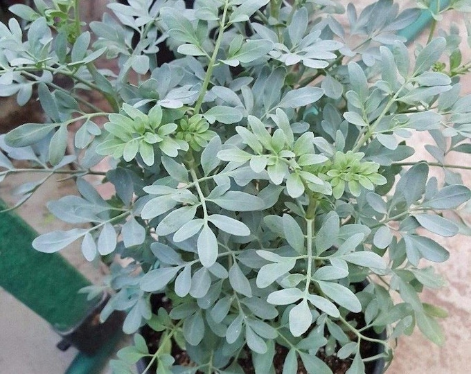 "Ruda Plant Common Rue Herb of Grace - 8"" to 1 Feet Tall  - Ship in 6"" Pot"