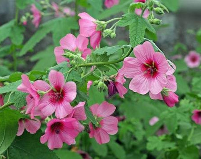 "ANISODONTEA capensis 'El Rayo' - 1 Feet Tall - Ship in 6"" Pot"