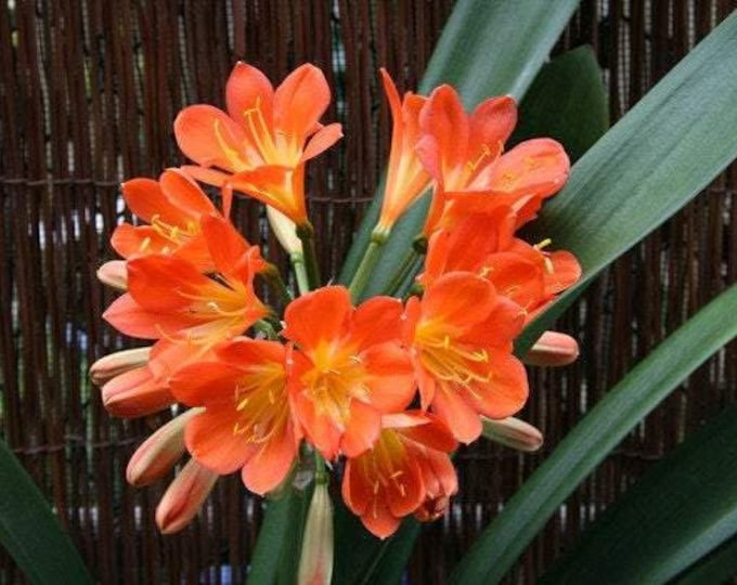 "Clivia hybrid orange - 1 Plants - 1 to 2  Feet Fall -  Ship in 6"" Pot"