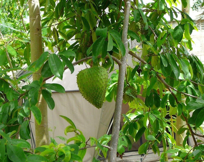 "Soursop Tree  - 1 Plants - 2   Feet Tall - Ship in 6"" Pot"