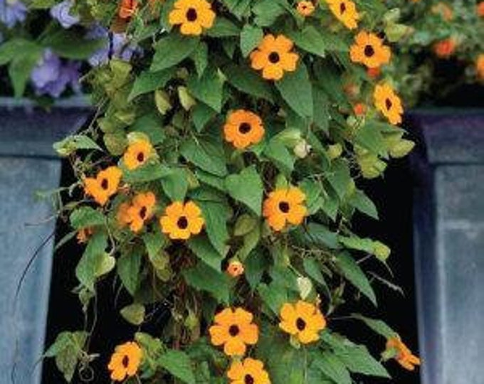 "Thunbergia Susie Orange with Black Eye - 1 Plants  - 2 feet Long  - Ship in 6"" Pot"