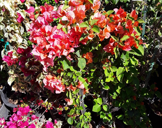 "Bougainvillea Orange  - 1 Plant -  2 Feet Tall   - Ship In 6"" Pot"