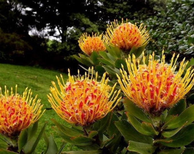 "Leucospermum 'Yellow Bird' - Pincushion - 1 Feet Tall  - Ship in 6"" Pot"