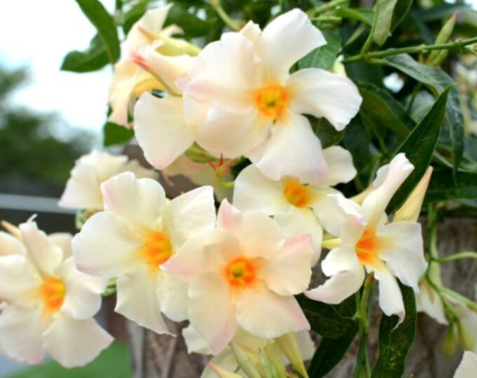 "Apricot Mandevilla Vine - 1 Plants - 1 Feet Tall - Ship in 6"" Pot"