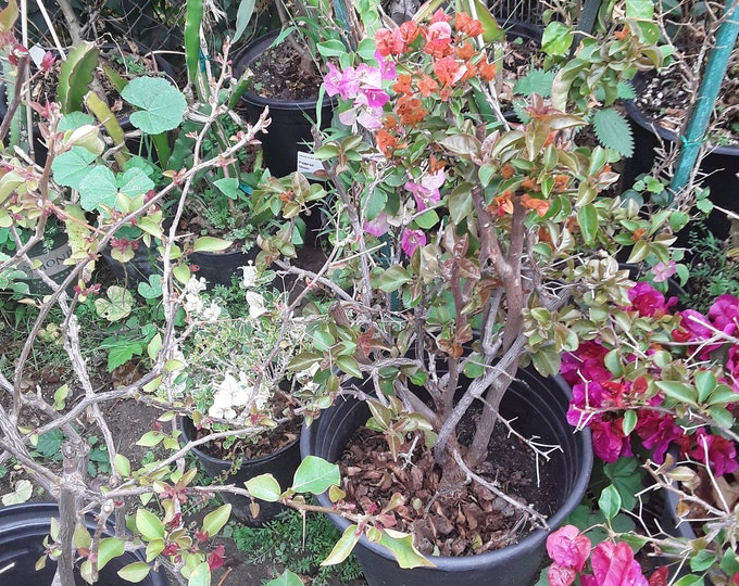 Bougainvillea Orange- 1 Plant -  2 Feet Tall  - Bigger Trunk - Great For Bonsai - Ship In 3 Gal Pot