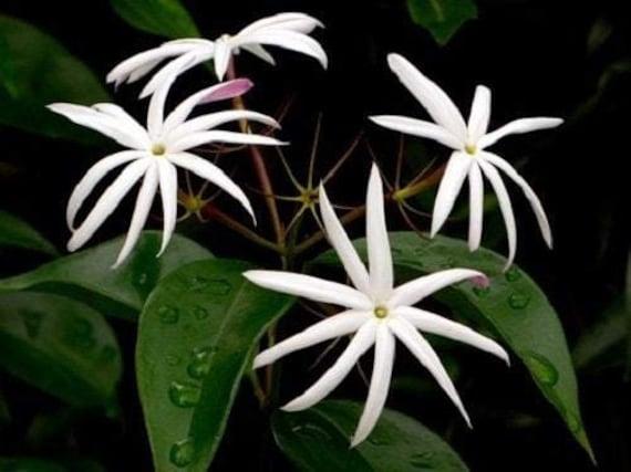 Jasmine /'Star/' Jasminum Nitidum Gallon pot