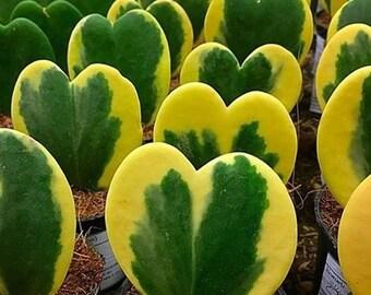 Hoya Heart Etsy