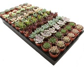 100-Pack 1.75 quot Mini Assorted Succulents - Perfect for Fairy Gardening Wedding Favors
