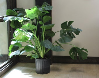 Giant Monstera Deliciosa | Swiss Cheese Plant | The Perfect Trendy Plant