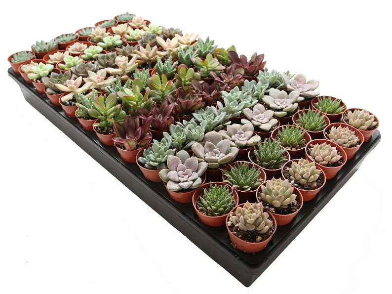 72-Pack 1.75 Mini Assorted Succulents  Perfect for image 0
