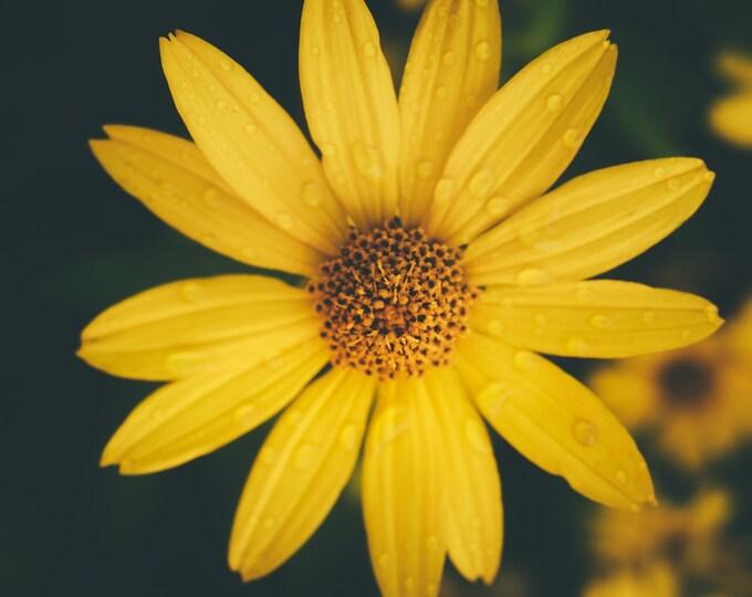 Yellow Black-eyed Susan Photograph - Yellow Flower Art - Flower Wall Art
