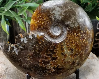 Whole End Chambered Sutured Ammonite Fossil W16
