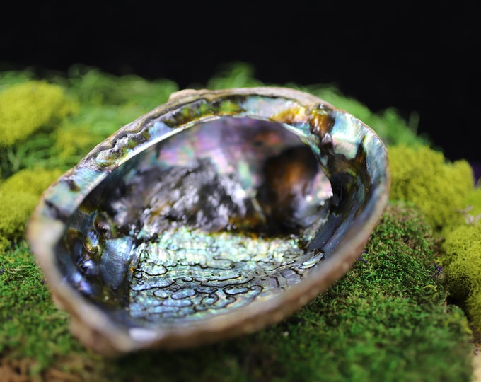 6 Inch Abalone Shell