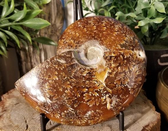 Whole Ammonite Fossil