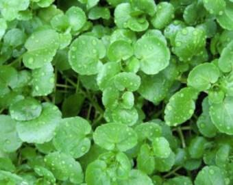 Watercress Seeds | Bulk Watercress Seeds | Nasturtium Officinale Seeds | Perennial Watercress Seeds | Fast Growing Watercress Seeds