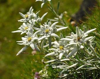 Edelweiss Seeds   Leontopodium Alpinum Seeds   Swiss Alps Edelweiss Seeds   Bulk Edleweiss Seeds