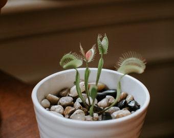 Venus Fly Trap Seeds   Dionaea Muscipula Venus Flytrap Seeds   Carnivorous Plant Seeds  