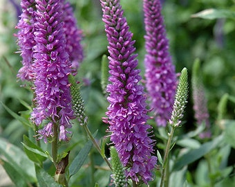 Veronica Seeds | Veronica Spicata Seeds | Spiked Speedwell Veronica Seeds | Spiked Speedwell Seeds | Speedwell Royal Candles Seeds
