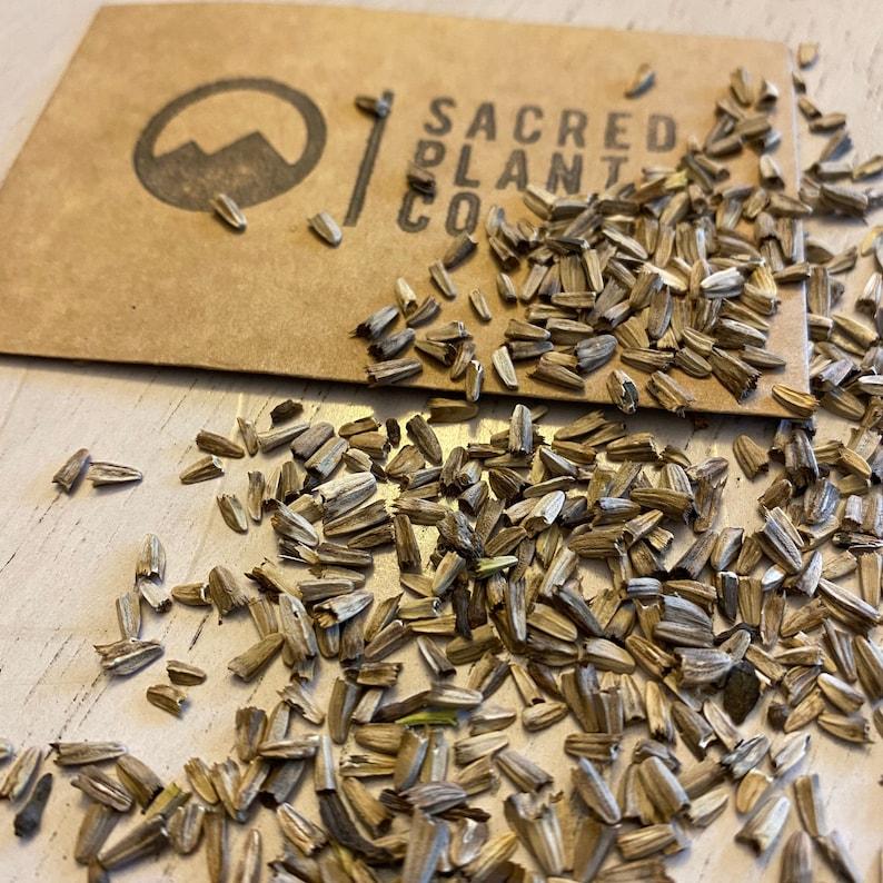 Purple Coneflower Seeds  Echinacea Seeds  Echinacea Purpurea image 0