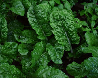 Perpetual Spinach Swiss Chard Seeds | Perpetual Spinach Seeds | Beta vulgaris cicla Seeds | Shiny Green Swiss Chard |