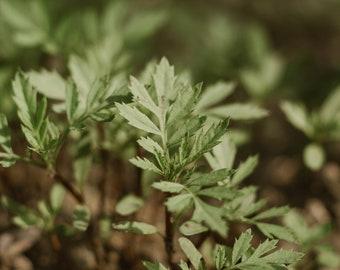 Buck's Horn Plantain seeds   Plantago Coronopus Seeds   Minutina Seeds   Erba Stella   Star-Of-The-Earth Seeds