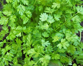 Chervil Seeds | French Parsley Seeds | Chervil French Parsley Seeds | Bulk Chervil Seeds