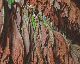 Tobacco Seeds | Virginia Black Tobacco Seeds | Bulk Tobacco Seeds | Nicotiana tabacum | Grow and Roll Tobacco | Tobacco Plant Seeds |