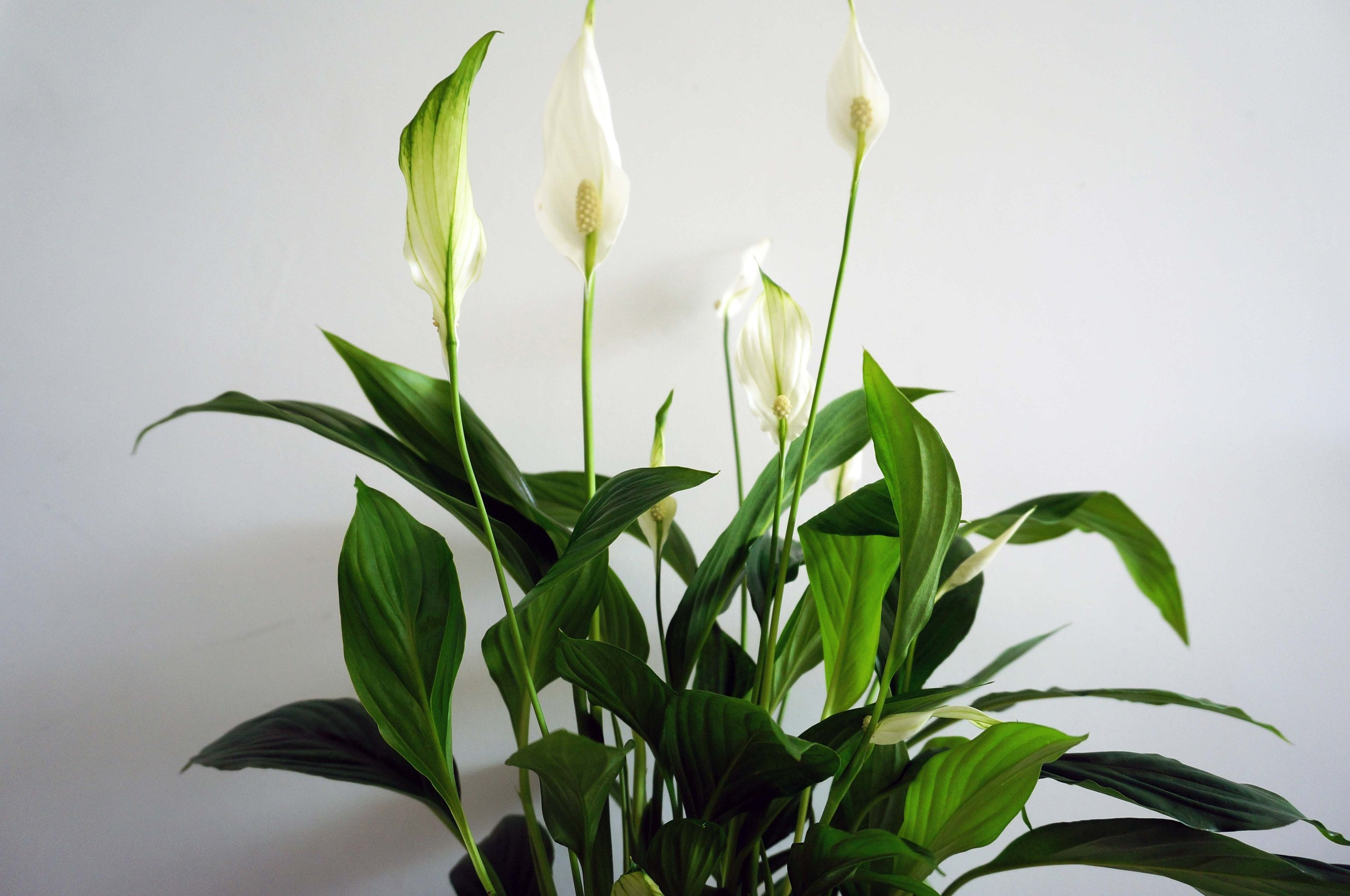 Peace Lily House Plant, Air Purifying Plant, Easy Care Plant, Low Light on peace lily family plant, chinese evergreen house plant, droopy peace lily plant, funeral peace lily plant, peace lily potted plant, peace lily plant benefits, classic peace lily plant, black bamboo potted plant, white and green leaves house plant, croton house plant, peace plant brown leaves, dragon plant, holly house plant, zamiifolia house plant, problems with peace lily plant, weeping fig house plant, marginata house plant, artificial bamboo house plant, black gold lily plant, pineapple plant house plant,